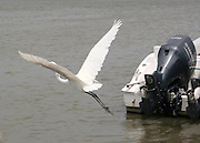 Great Egret taking off behind a docked boat