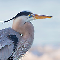 Great blue heron (Ardea herodias) at water's edge in early morning, with breeze and sunrise colors highlighting the bird's elegant breeding-season plumage, including the ponytail-like head plume. Gulf of Mexico, adjacent to Little Estero Critical Wildlife Area. Published in Wild Planet Photo Magazine, Exhibition Gallery, Issue 47/Sept. 2017.