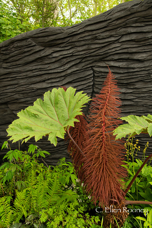Gunnera killipiana in the M & G Garden designed by Andy Sturgeon and winner of the best show garden award at the RHS Chelsea Flower Show 2019, London, UK
