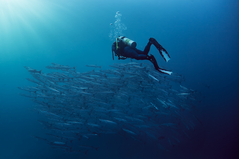 THAILAND, SImilan Islands National Marine Park, Phangna Province. November 29th, 2011. A diver follows closely to a large school of blackfin barracuda.  They are becoming less frequent in the marine sanctuary and overfishing has caused a significant drop in overall numbers, with schools today being less than half of what was seen only a few years ago.