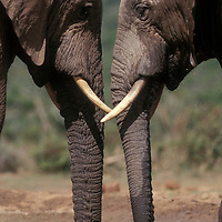 South Africa, Addo Elephant National Park, Elephants (Loxodonta africana) stand head to head while drinking at water hole