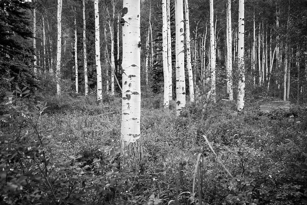 Aspen trees in Vail, Colorado