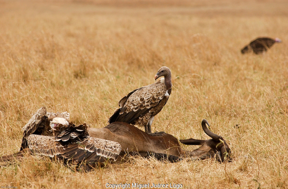 Vultures do their thing in top of the carcass of a wilder beast in the Maasai Mara plains, Kenya. (PHOTO: MIGUEL JUAREZ LUGO).