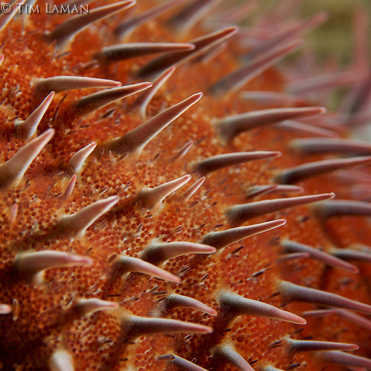 Crown-of-thorns sea star detail<br />