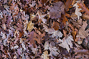 A pile of Autumn oak leaves, Catalonia