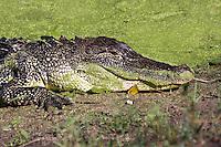 Brazos Bend State Park near Houston, Texas...©2008, Sean Phillips.http://www.Sean-Phillips.com