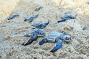 Leatherback Sea Turtle Hatchlings, Dermochelys coriacea, emerge from their nest at sunrise and make their way into the Caribbean Sea in Trinidad.