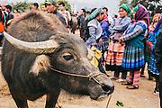 Water buffalo market area at the Bac Ha sunday market, Vietnam
