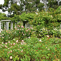 Rose Garden at Old Parliament House Gardens in Canberra, Australia<br />
