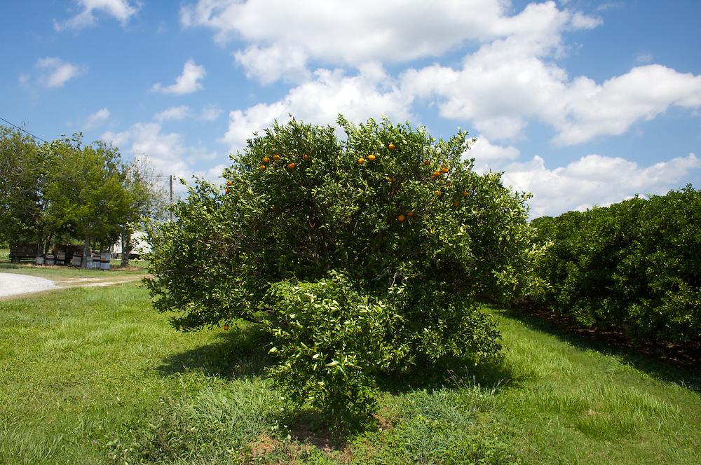 Orchard, Myrtle Grove, Plaquemines Parish, Louisiana, USA