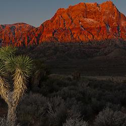 A Joshua Tree at Sunrise, Red Rock Canyon Conservation Area, Las Vegas, Nevada, USA