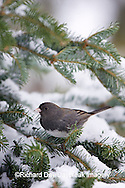 01569-014.19 Dark-eyed Junco (Junco hyemalis) in Balsam fir tree in winter, Marion Co. IL