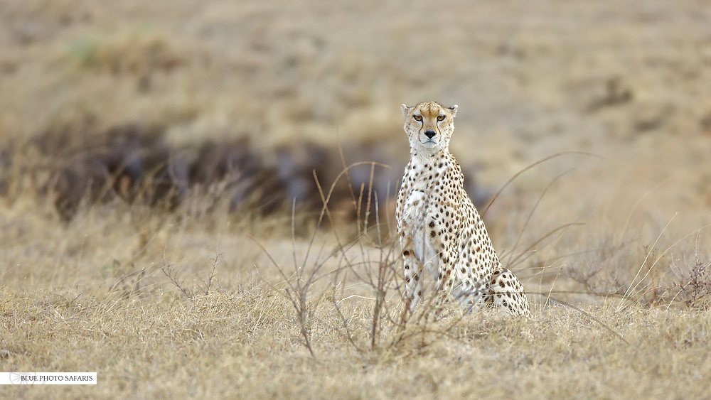 A light colored cheetah in the Ngorongoro crater