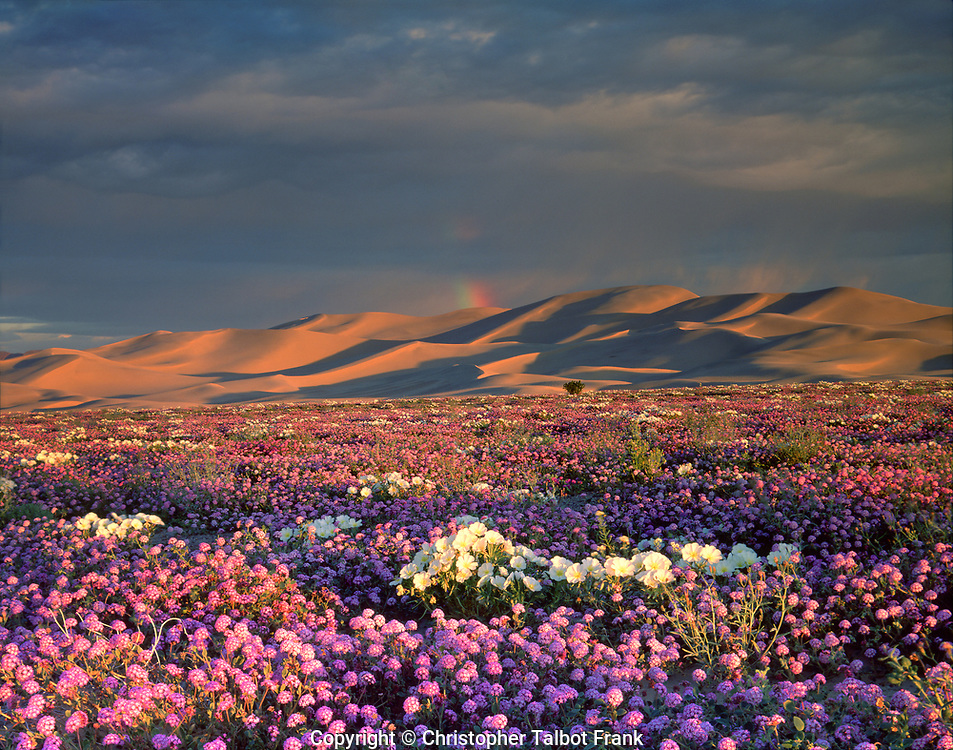 An amazing rainbow over desert wildflowers happened before my eyes, so I set up the 4x5 view camera to capture this once-in-a-lifetime event at the Dumont Dunes in California.