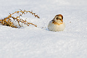 Snow Bunting - Plectrophenax nivalis looking for food in the snow
