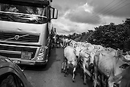 Altamira, Brasil - April 12 of 2014:  Cattle traffic in Transamazonica road. Photo: Caio Guatelli