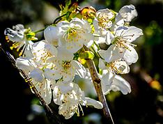 Cherry Blossom, South Lanarkshire, 26 April 2020