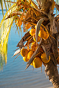 Coconut Palm Tree, Tiahura, Moorea, French Polynesia, South Pacific