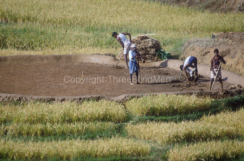 Preparing the Kamatha, (threshing floor) for a paddy harvest.