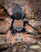 Mexican Red leg Tarantula (Brachypelma emilia)