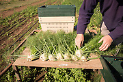NOVIC fennel trials grown by Josh Volk of Our Table farm in Sherwood, Oregon.