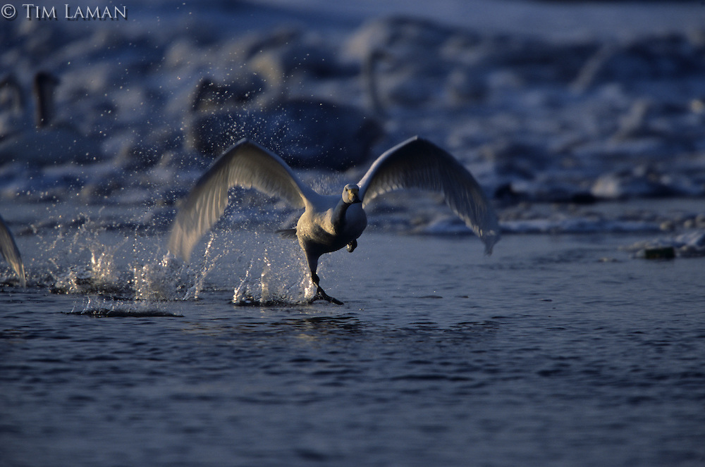 A whooper swan (Cygnus cygnus) taking off from the water.