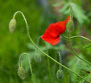 Papaver orientale, a red poppy in Derry Watkin's Special Plants Garden in Cold Ashton, Chippenham, Somerset, UK