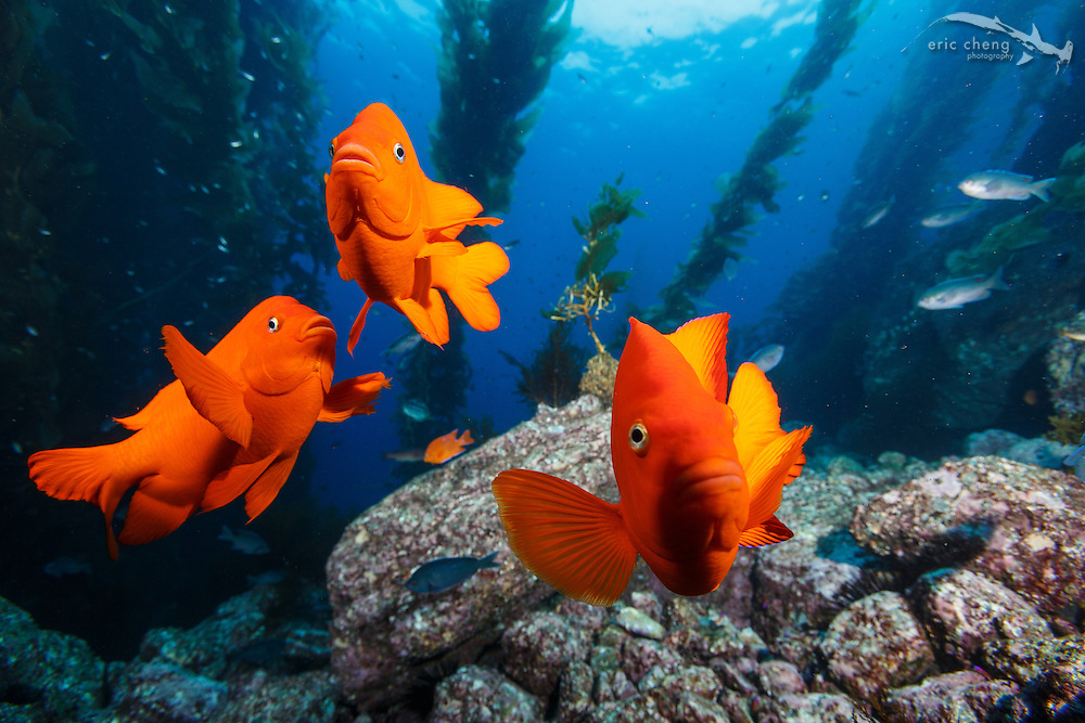 Garibaldi investigate my camera closely at Goat Harbor, Catalina, Channel Islands, California