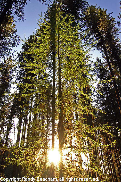 Western larch at sunset in spring. Yaak Valley in the Kootenai National Forest, Purcell Mountains, northwest Montana.