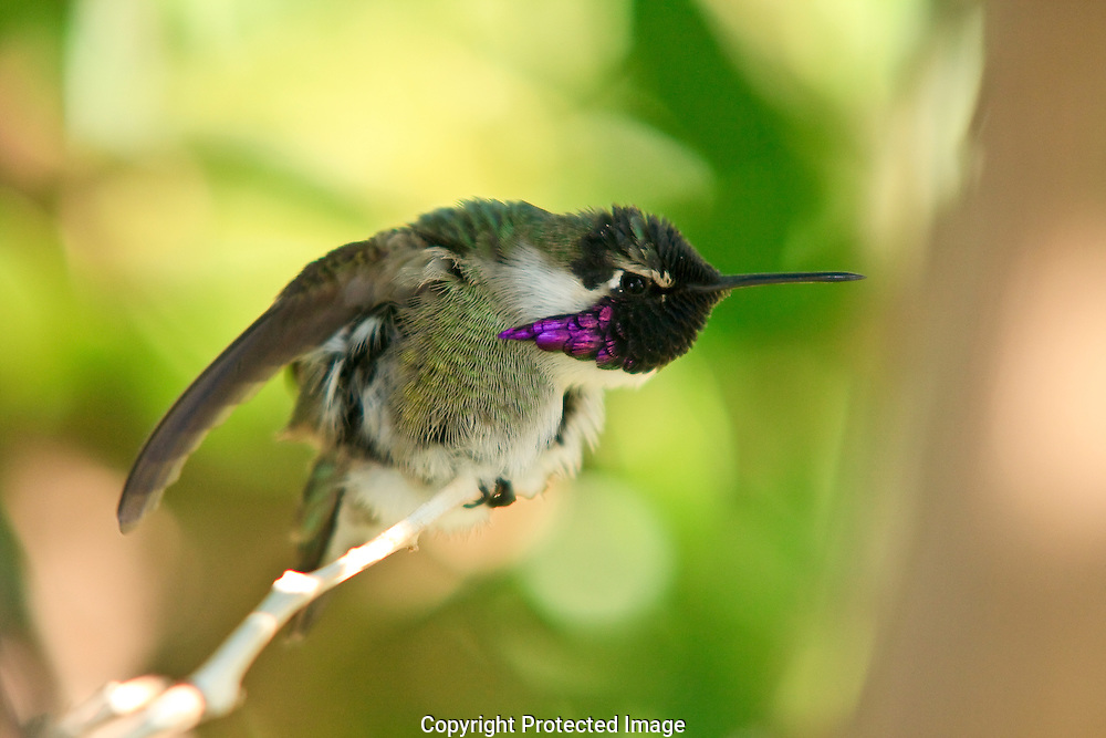 Male Costa's Hummingbird defending his territory by fluffing his feathers and raising his wings to make himself appear larger.