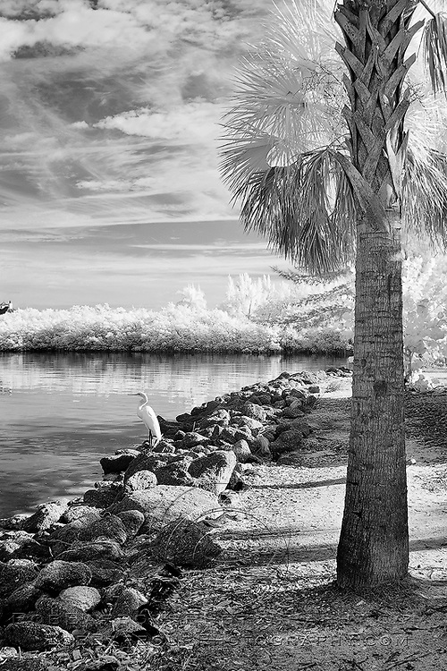 Infrared photo of great white heron on Wabasso Causeway, Florida