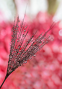 Water drops, seedhead, reflection, flower, macro, close-up, magnification.