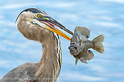 A Great Blue Heron, Ardea herodia, feeds on a Bluegill, Lepomis auritus, at Circle B Bar Reserve in Lakeland, Florida.