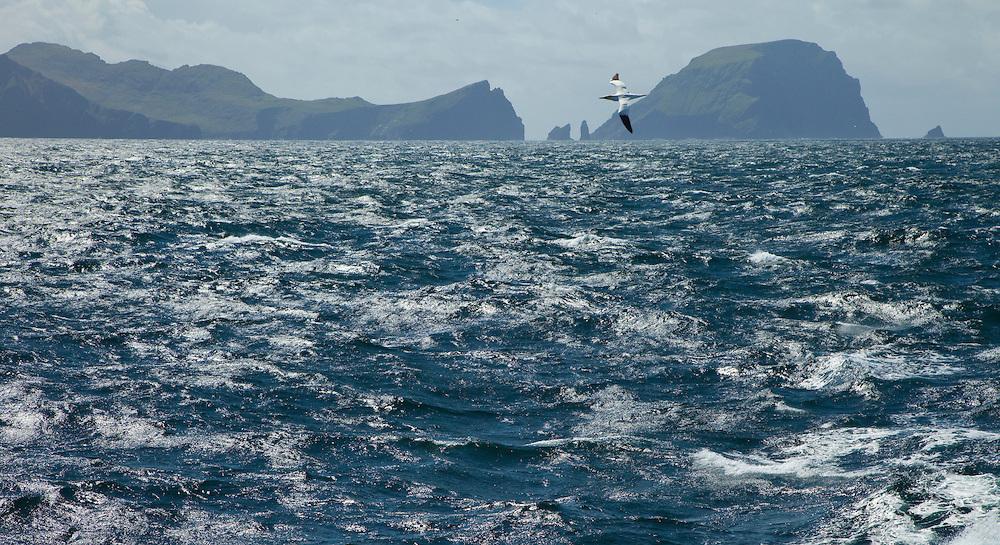 Gannet (Sula bassana), Isla St. Kilda. Archipielago St. Kilda. Outer Hebrides. Scotland, UK