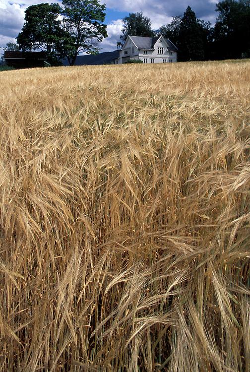 Europe, Norway, White farmhouse bordered by wheat field near Sundvallen northwest of Oslo.