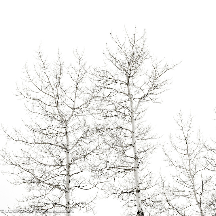 B&W photograph of trees in winter in the Northwest