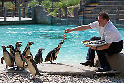 © Licensed to London News Pictures. 17/07/2013. London, UK. Gary Deveraux, executive for London Zoo's caterers Ampersand feeds penguins with capelin fish and cabbage canape w as the zoo celebrates the opening of their new Terrace Restaurant in London today (17/07/2013). Photo credit: Matt Cetti-Roberts/LNP