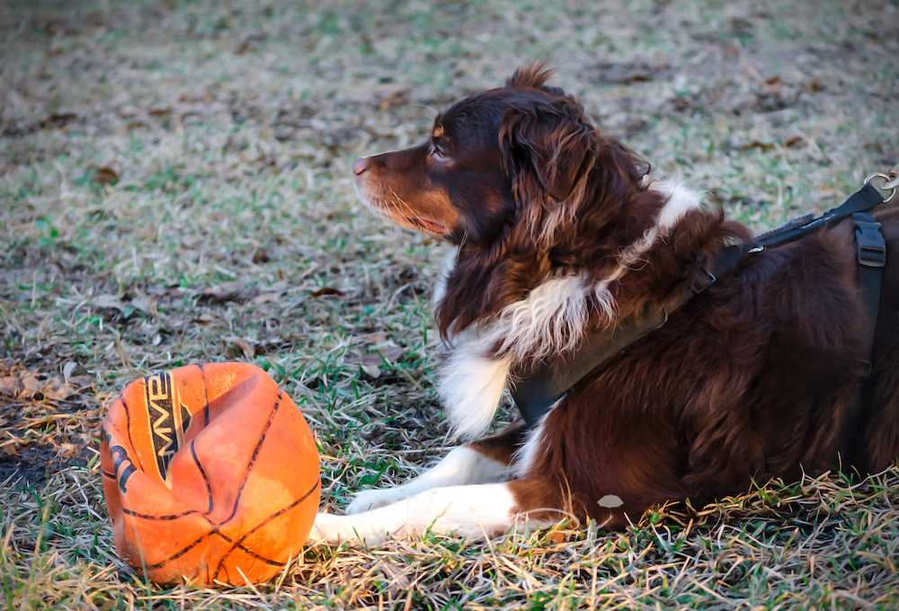 Cowboy, a six-year-old Australian Shepherd, rests from a game of basketball, March 1, 2014, in Coden, Alabama. (Photo by Carmen K. Sisson/Cloudybright)