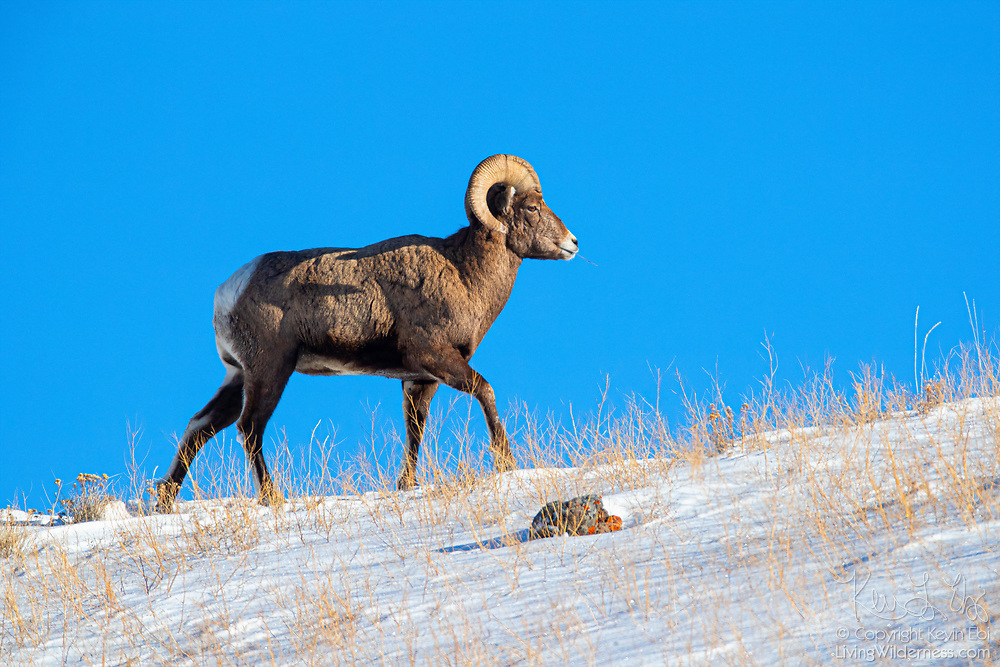 A bighorn sheep (Ovis canadensis) walks on a snowy ridge that borders the Lamar Valley in Yellowstone National Park, Wyoming.