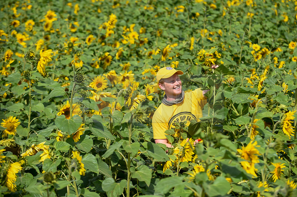 "© Licensed to London News Pictures. 20/08/2019. ST ALBANS, UK.  A staff member (Charlie, a ""sunflower sommelier"") picks sunflowers for a customer on a dry day at Pop-Up Farm, a family run and family friendly farm that welcomes thousands of visitors each year at a series of pop-up farming festivals.  The forecast is for the temperatures to warm up ahead of the August Bank Holiday Weekend. Pop-Up Farm is the vision of Ian and Gillian Pigott who are passionate about farming, education and the environment. The Pigott family have been farming in Hertfordshire for many generations.  Photo credit: Stephen Chung/LNP"