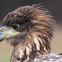 Adler Polen