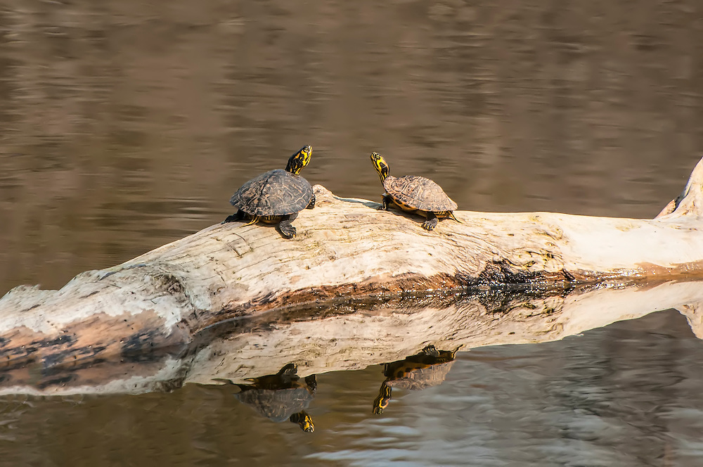 A pair of yellow-bellied sliders sun themselves on a sunny winter day on the Chattahoochee River in Southeastern Alabama.