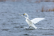Whooper Swan, Cygnus cygnus, in flight and landing with wings spread wide and water splashing at Welney Wetland Centre, Norfolk, UK