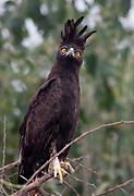 Long-crested Eagle (Lophaetus occipitalis) from Tarangire NP, Tanzania.