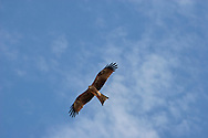 Whistling Kite, Queensland gulf country.<br /> <br /> Larger JPEG + TIFF images available by contacting use through our contact page at :..www.photography4business.com