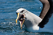 Buller's Albatross, New Zealand