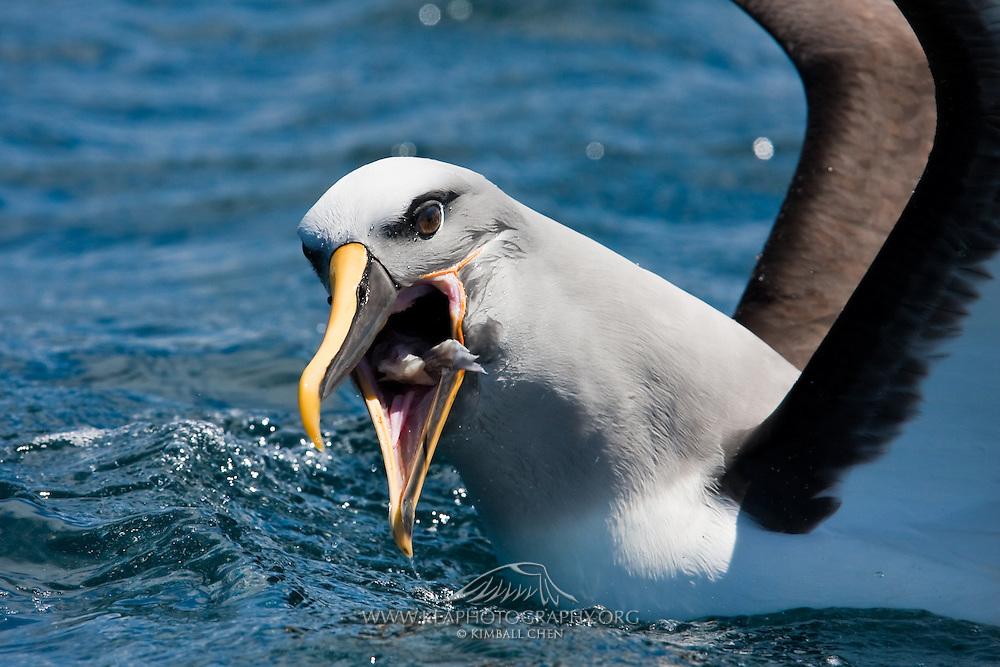 Buller's Albatross, New Zealand