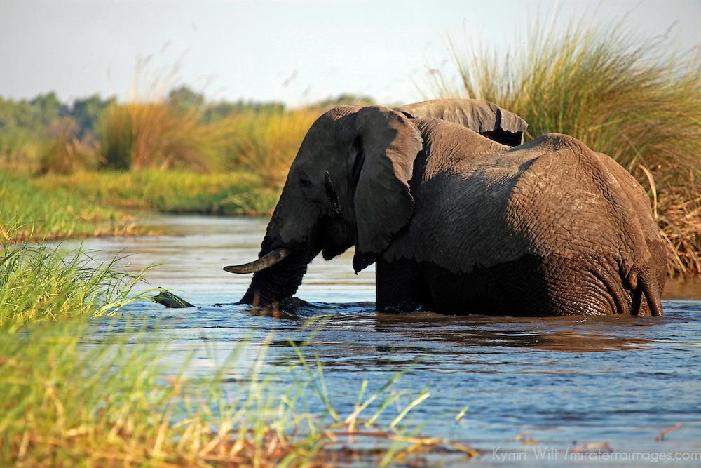 Africa, Botswana, Okavango Delta. Elephant of the Okavango Delta.