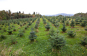 A christmas tree farm in Selbu, Norway.