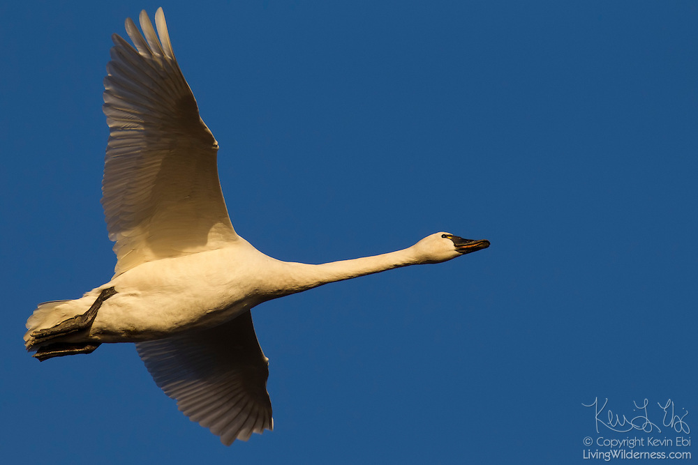A tundra swan (Cygnus columbianus) flies over an estuary in the Skagit Valley in Washington state. Tundra swans are the smallest, but most common, swans in North America.